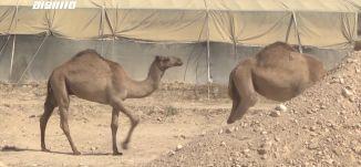 وزارة الزراعة الاسرائيلية تضيق على العرب في النقب وهذه المرة على تربية الإبل،تقرير،مراسلون.18.1.21